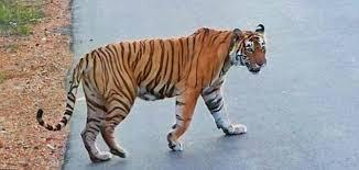 tiger on highway rajasthan dailymail